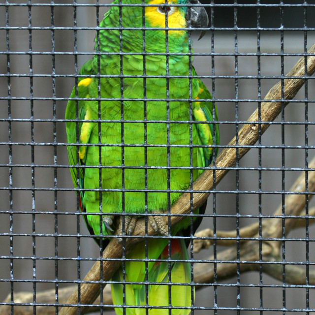 """Caged Blue Fronted Amazon Parrot"" stock image"