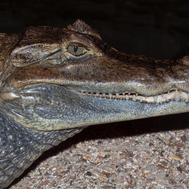 """Caiman Crocodile Closeup"" stock image"