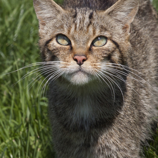 """Scottish Wildcat Closeup"" stock image"