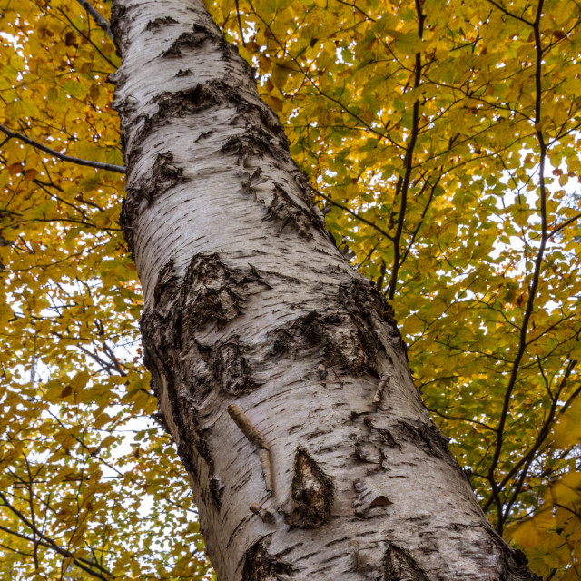 """Golden Birch"" stock image"