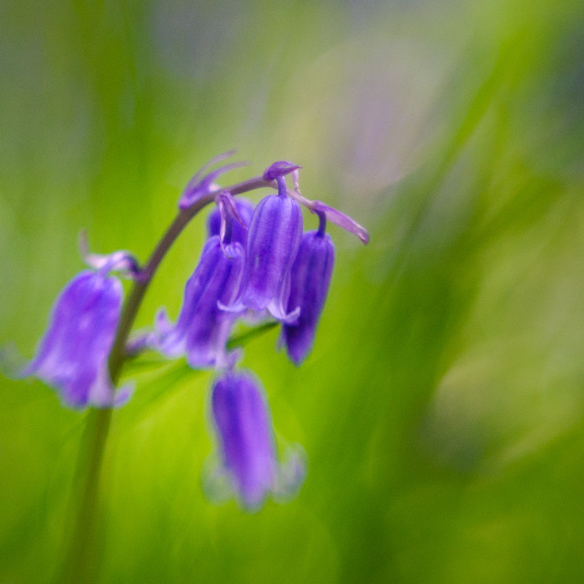 """Bluebell flower"" stock image"