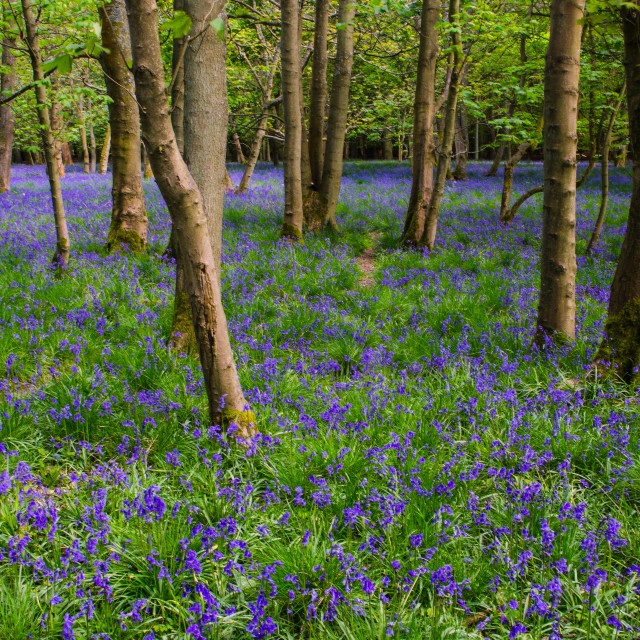 """Woodland bluebells 2"" stock image"
