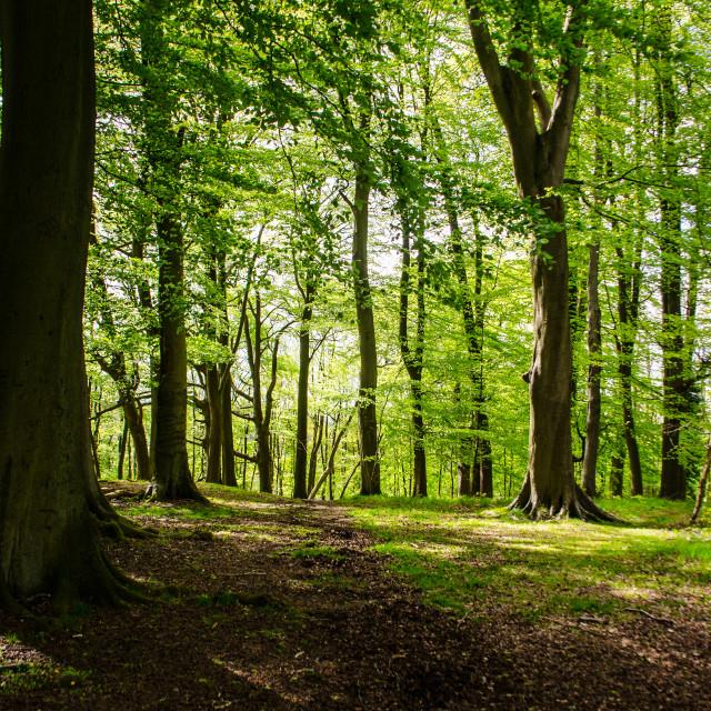 """Spring woodland"" stock image"