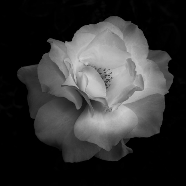 """""""Midnight Rose In Black And White"""" stock image"""