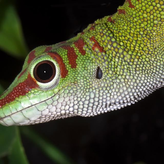 """Madagascar Day Gecko 2"" stock image"