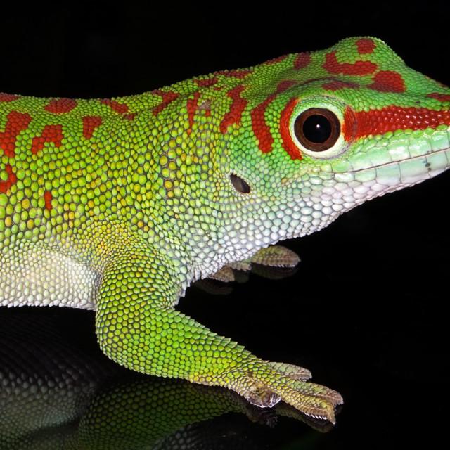 """Madagascar Day Gecko 1"" stock image"