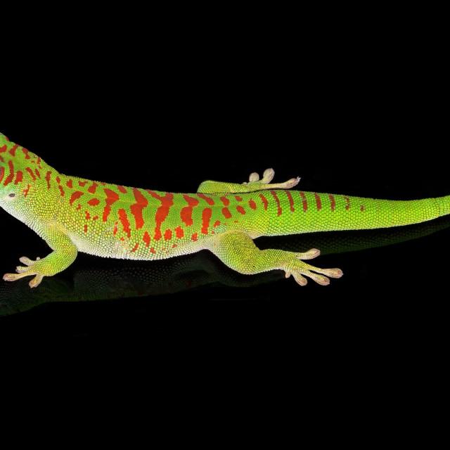 """Madagascar Day Gecko"" stock image"