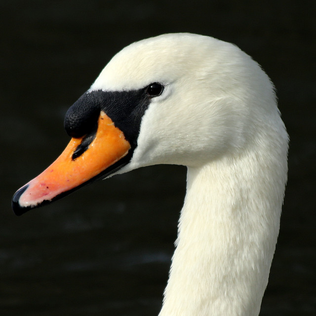 """Mute swan male head in close up"" stock image"