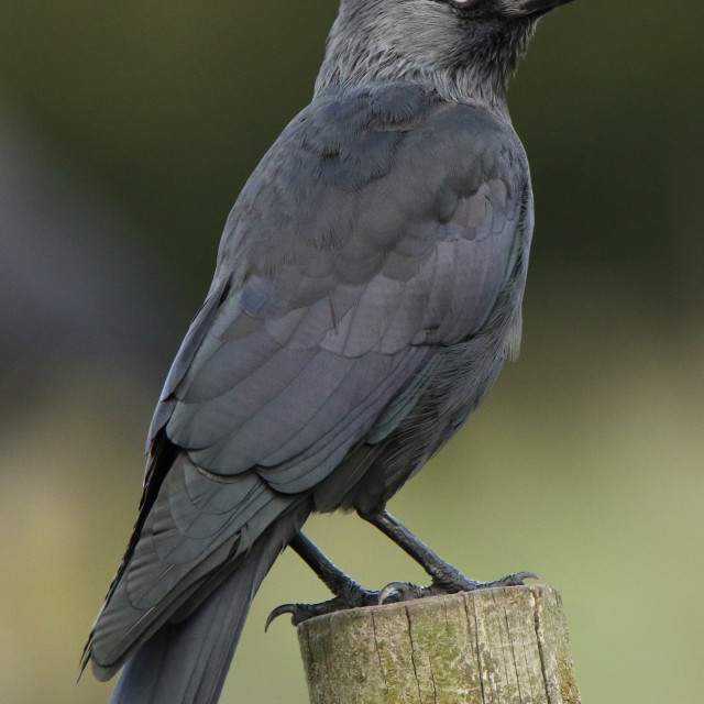 """Jackdaw profile"" stock image"