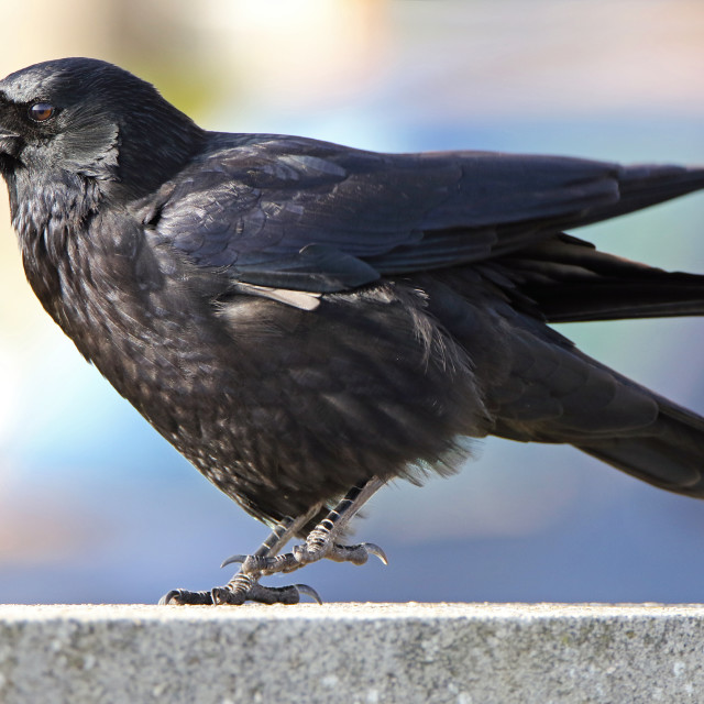 """Crow calling"" stock image"