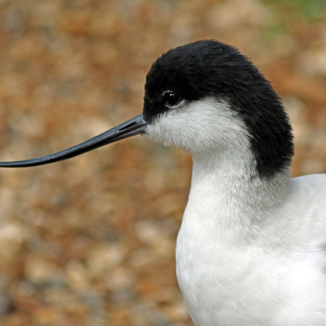 """Avocet close up"" stock image"