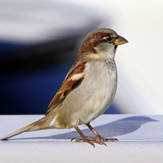 """House sparrow male"" stock image"