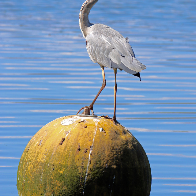 """Heron perched on buoy"" stock image"