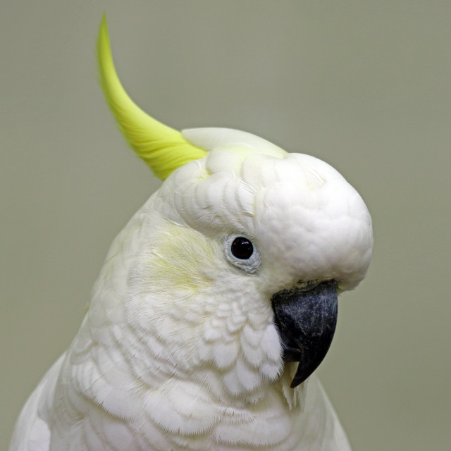 """Sulphur-crested cockatoo"" stock image"
