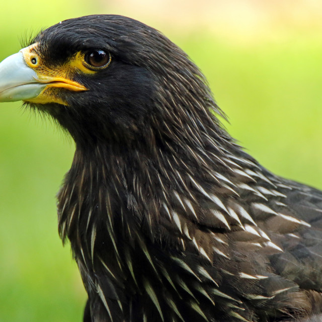 """Striated caracara"" stock image"