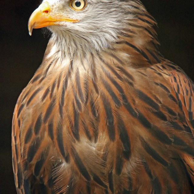 """Red kite close up"" stock image"