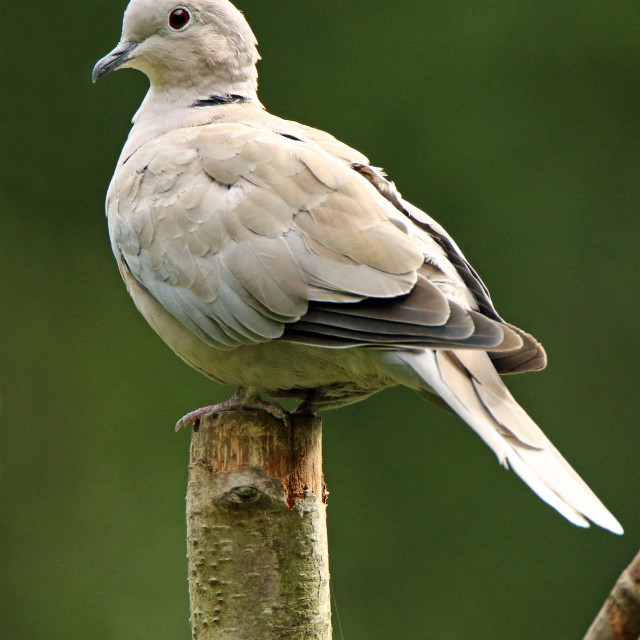 """Collared dove"" stock image"
