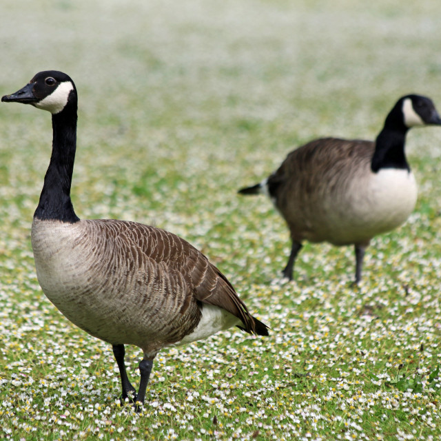 """Canada geese in a field of daisies"" stock image"