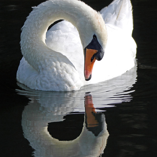 """Mute swan gazes at his own reflection"" stock image"