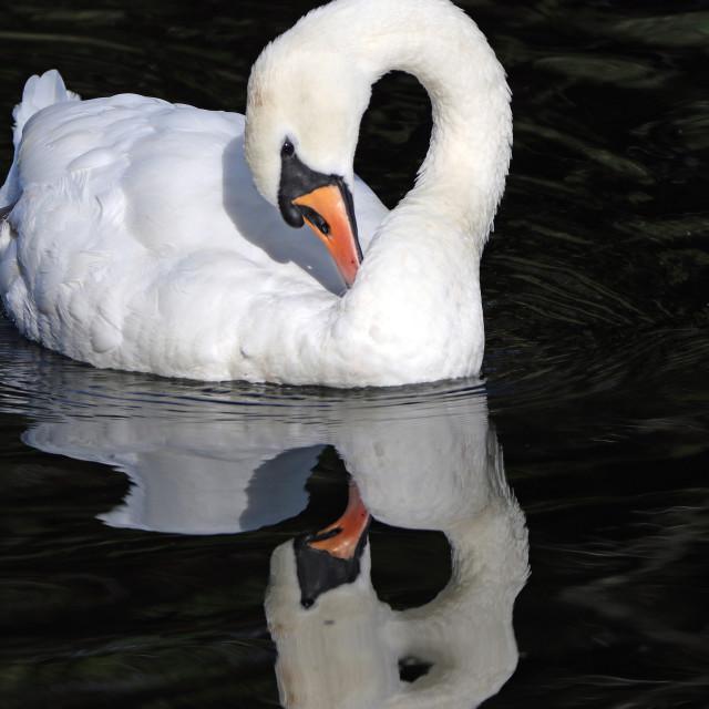 """Mute swan preening"" stock image"