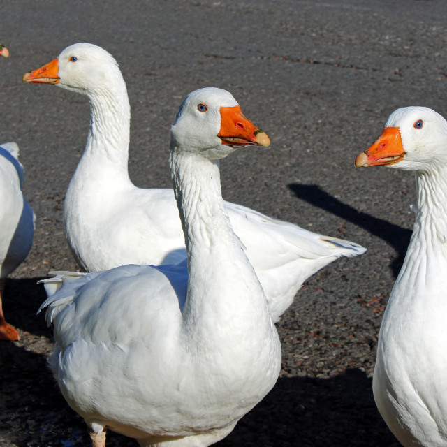 """Domestic geese"" stock image"