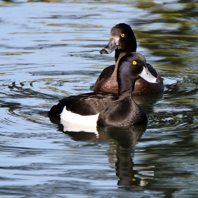 """""""Tufted ducks - male and female"""" stock image"""