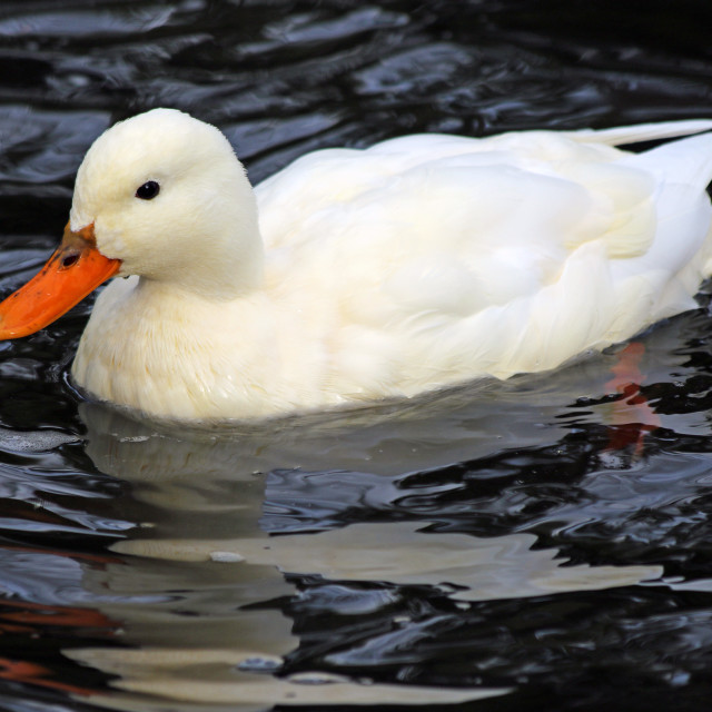 """White Campbell duck"" stock image"