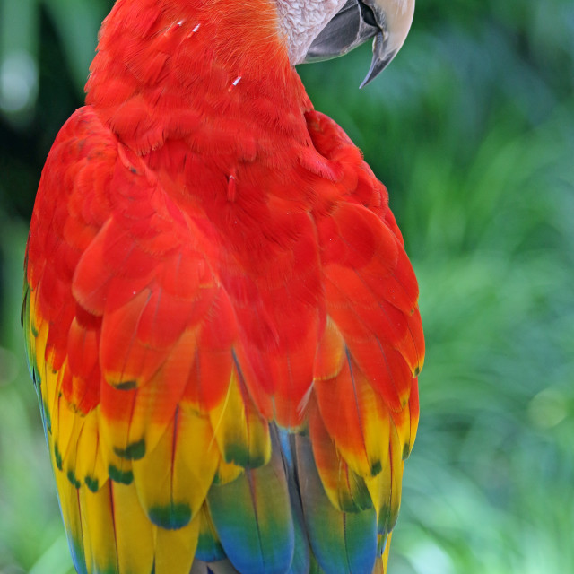 """""""Scarlet macaw"""" stock image"""