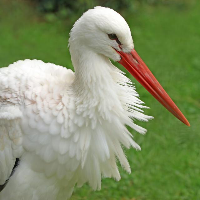 """""""White stork resting"""" stock image"""