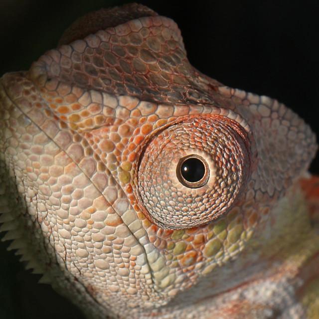 """Ambilobe Panther Chameleon Extreme Closeup"" stock image"