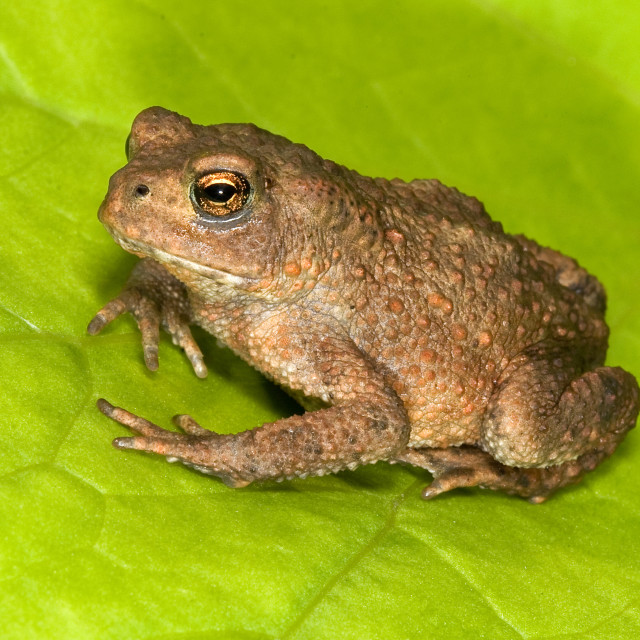 """Juvenile Common Toad"" stock image"