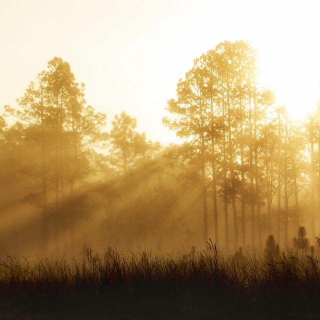 """Sun beams through the Pines"" stock image"