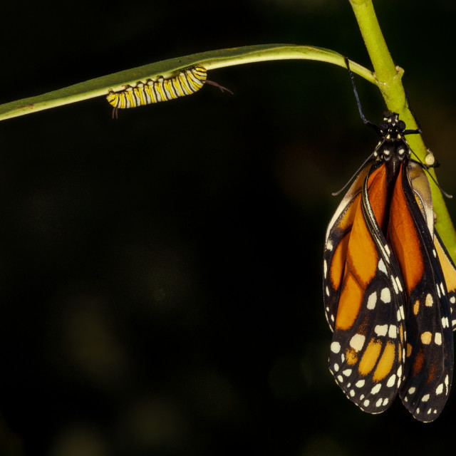 """""""Monarch Butterfly just out of its chrysalis"""" stock image"""