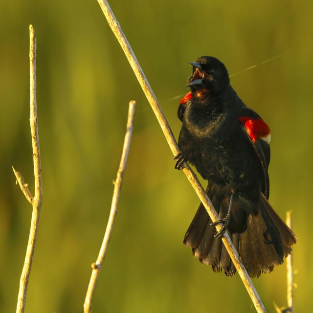"""""""Red-winged Blackbird Singing"""" stock image"""