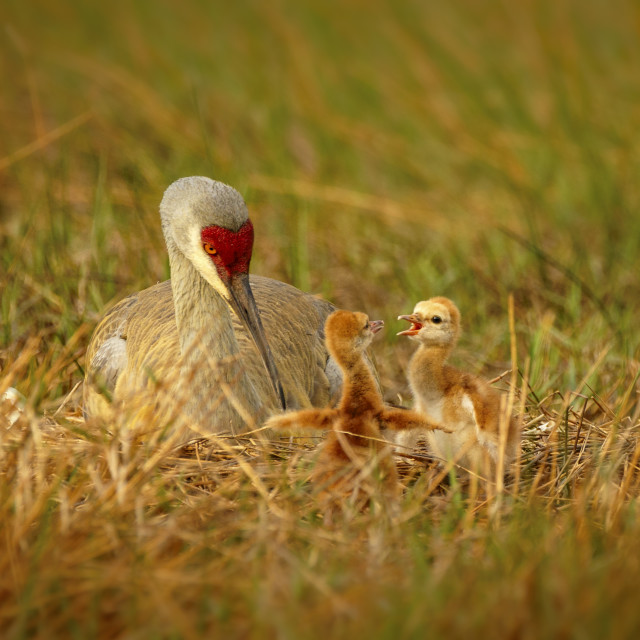"""Squabbling Sandhill Chicks"" stock image"