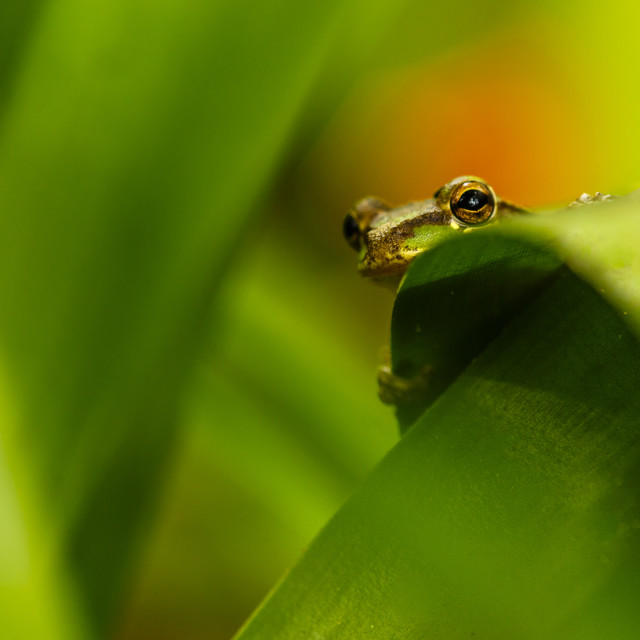 """""""Treefrog Peeking"""" stock image"""