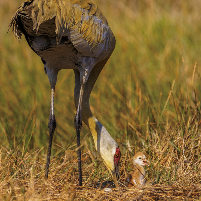 """Sandhill Crane and Chick, First Day!"" stock image"