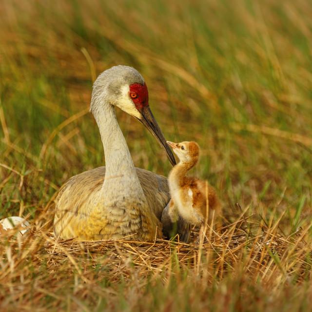 """Squabbling Sandhill Chicks"" stock image"