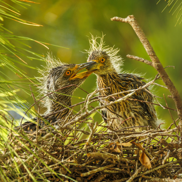 """Yellow-crowned Night-Heron Chicks at Nest"" stock image"