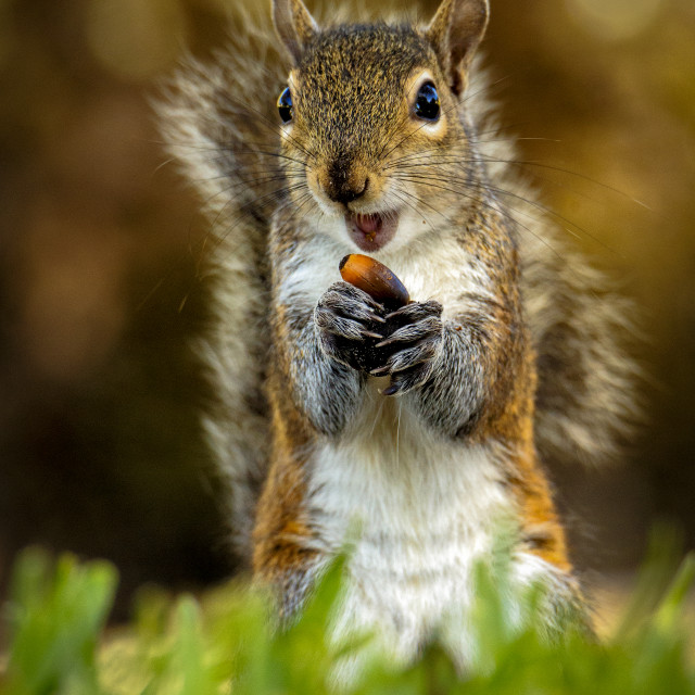 """Gray Squirrel and his Acorn"" stock image"