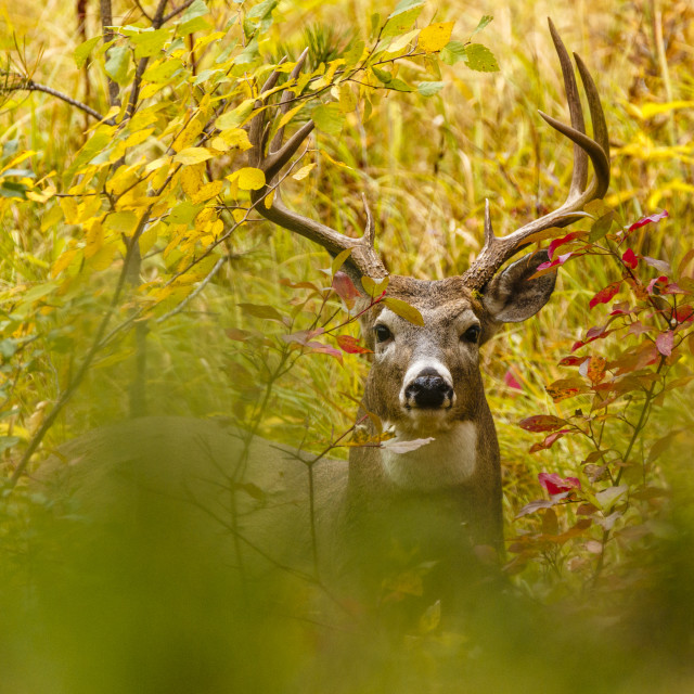 """White-tailed Deer Buck, Peeking"" stock image"