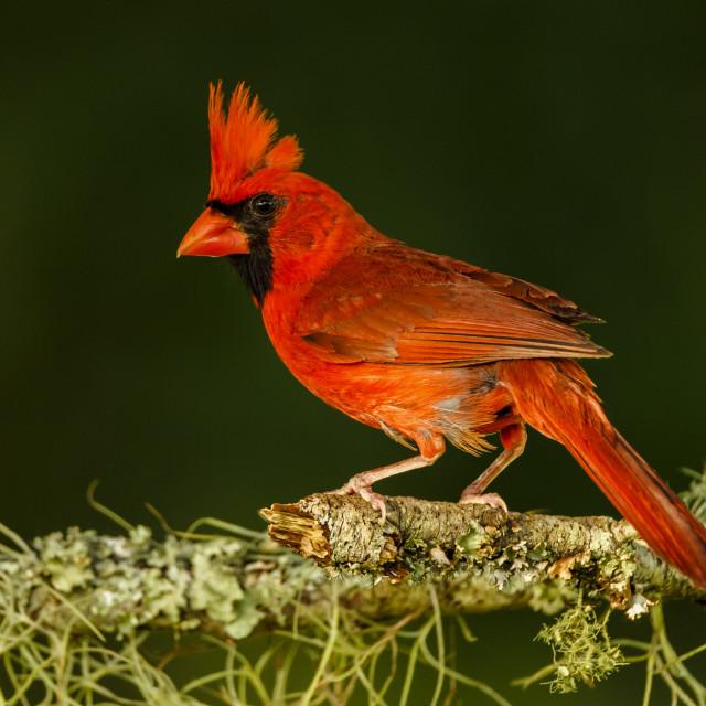 """Cardinal on an Oak Branhc"" stock image"