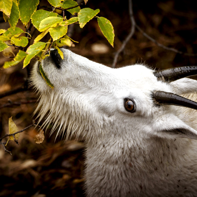 """Mountain Goat Kid Eating Fall Leaves"" stock image"
