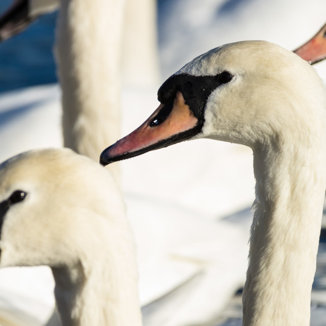 """Mute Swans"" stock image"