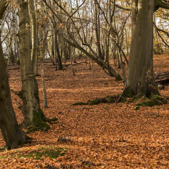 """Ashridge Woods in Autumn"" stock image"