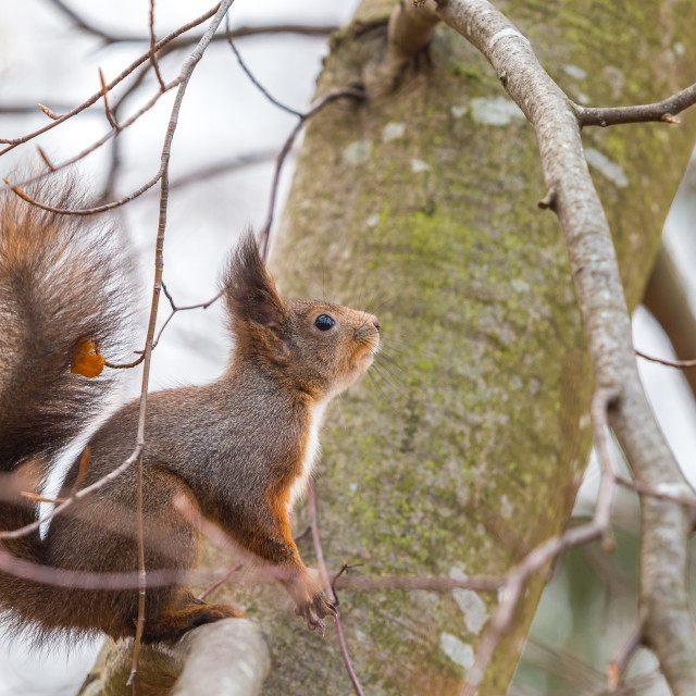 """Where is my lunch or a squirrel on a tree branch looking for food"" stock image"