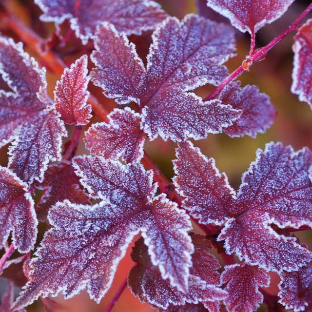"""""""Purple frosted leaves of Physocarpus"""" stock image"""