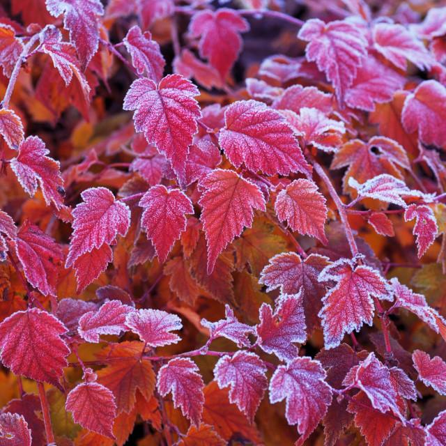 """Frosted leaves of Physocarpus opulifolius diabolo"" stock image"