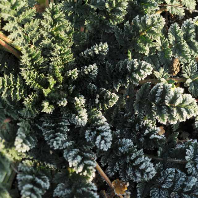 """""""Frost on wild plant with lacy rosette leaves"""" stock image"""