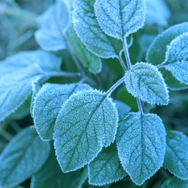 """""""Morning frost on leaves of green plant"""" stock image"""